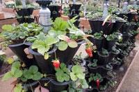 strawberries-gp