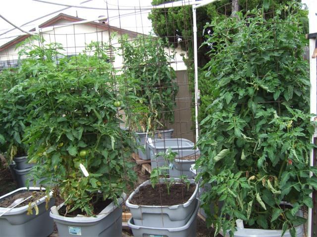 6-25-2013 Tomato status 005 (Small)
