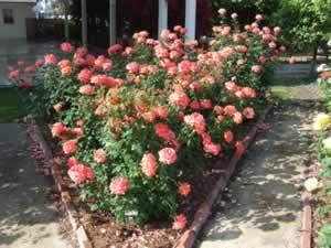 heritage rose garden 005