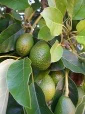 avocado-tree