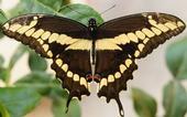 bio giant swallowtail