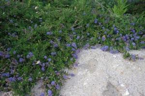 ceanothus-hearstiorum-flowers