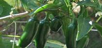 backyard-veggies-004 for UCCE MG OC News Blog