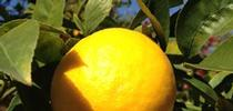meyer-lemon for UCCE MG OC News Blog
