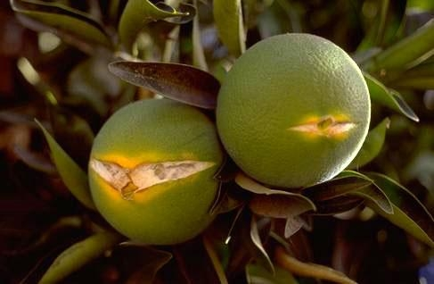 Oranges Splitting