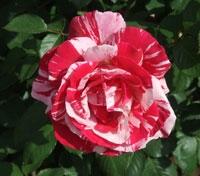 heritage-rose-garden-007