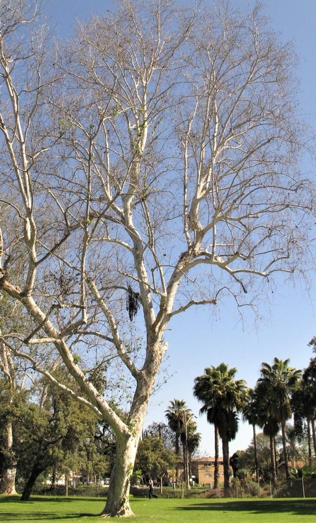 Árbol infectado por los escarabajos barrenadores polífago