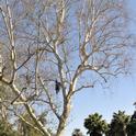 Árbol infectado por escarabajos barrenadores polífago