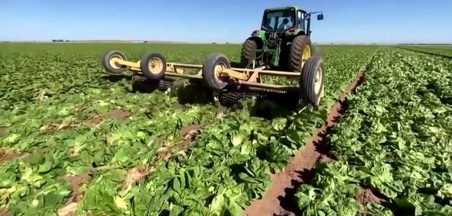 os agricultores destruyen los cultivos - Farmers destroy crops
