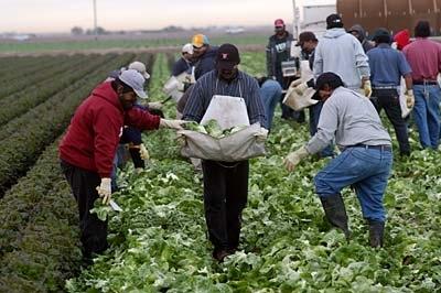 Latino harvesting