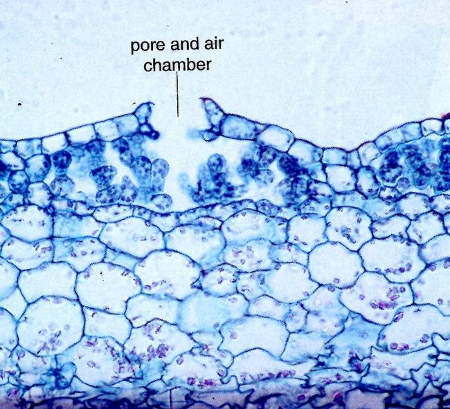 Liverwort pore