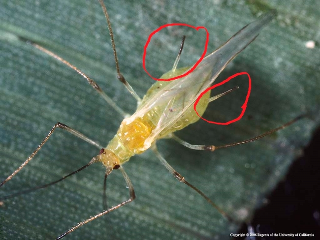 Potato aphid winged adult with cornicles