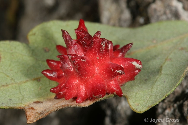 Gall on blue oak