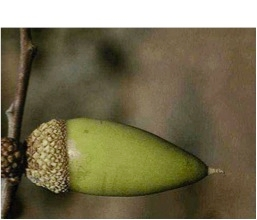 Blue oak acorn