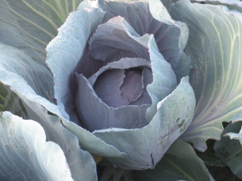 cabbage leaves-Photo by Marcy Hachman