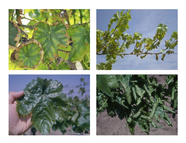 A variety of spring fever symptoms in Thompson Seedless.