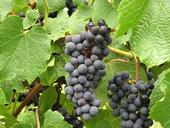 NY-95.0301 is a red wine grape developed by Cornell University.