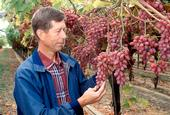 David Ramming evaluating Crimson Seedless.