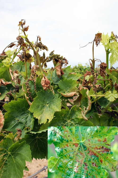 Figure 1. Thompson Seedless leaf (inset) displaying individual cell damage. Frost damage to Thompson Seedless shoots and flower clusters.