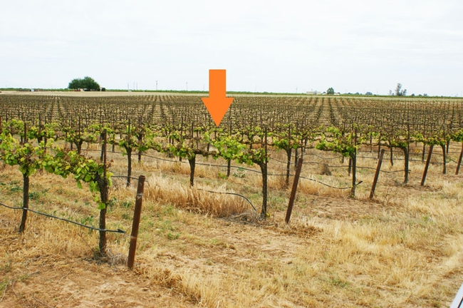 Figure 2. Orange arrow showing the downward slope of the Rubired vineyard where severe frost damage occurred.