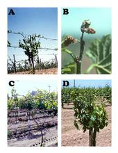 Various symptoms of delayed spring growth in grapes.