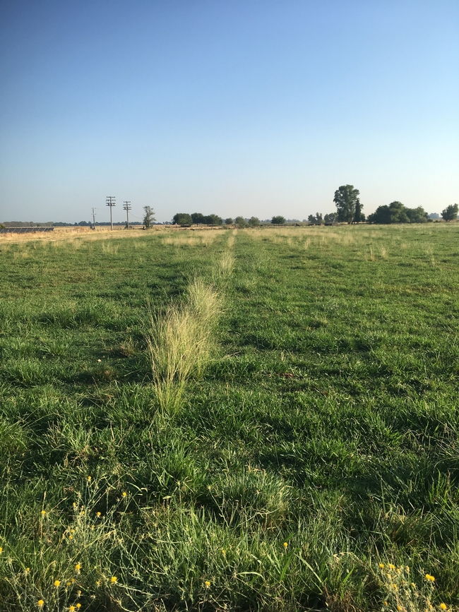 Smutgrass growing on a pasture check - drier portions of irrigated pastures may favor this weed.