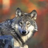 Gray wolf (5584759091)