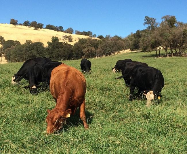 SFREC cows 4