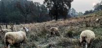 46454542 2432929290068717 447466842701692928 n for Ranching in the Sierra Foothills Blog