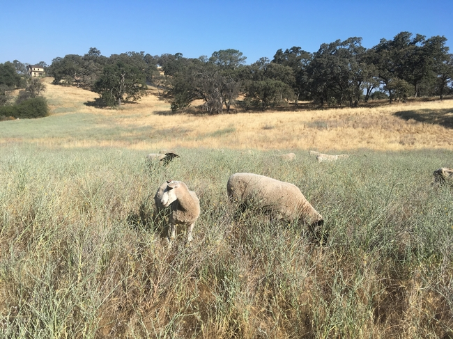 yst grazing