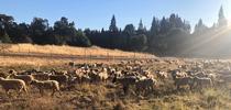 2021 June10 for Ranching in the Sierra Foothills Blog