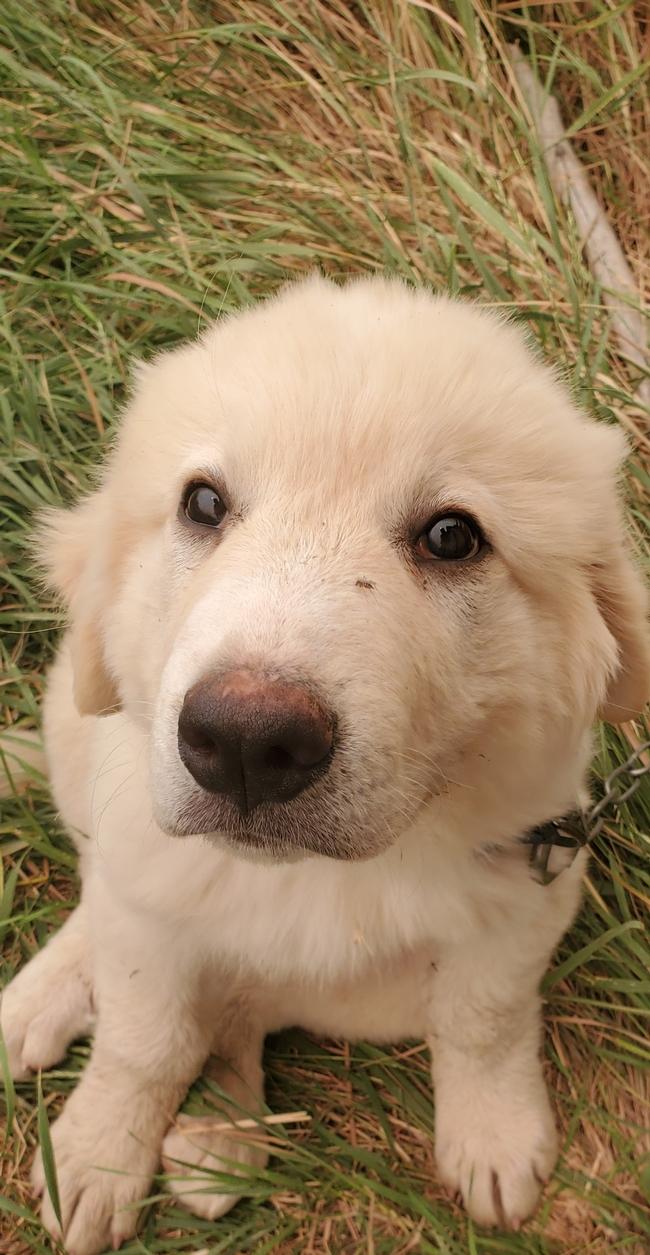 Sam the LGD pup!