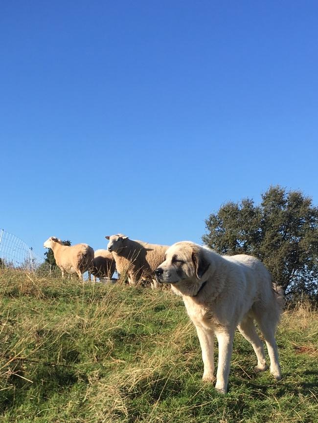Livestock guardian dog protecting sheep