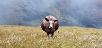 Beef cow for Outstanding in the Field: Views from North Coast Rangeland Blog