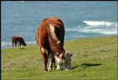 cows coast