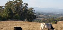 Cattle Graze near Santa Rosa for Outstanding in the Field: Views from North Coast Rangeland Blog