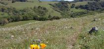 Taylor Mountain Wildflowers - Sonoma County Regional Parks picture for Outstanding in the Field: Views from North Coast Rangeland Blog