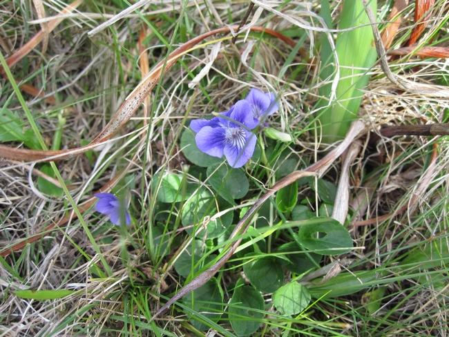 4 Dog violet (Viola adunca), SSU