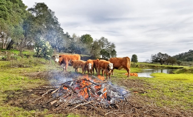 Bouverie Reserve with burn pile grazing cows. Photo credit: Sasha Berleman