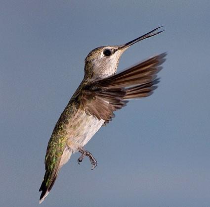 Hummingbird 1 -Hough