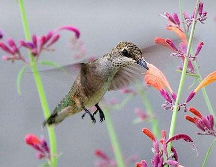 Hummingbird 2 - Hough