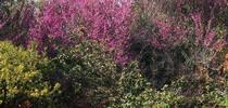 Western Redbud for Riverside County Master Gardeners Blog