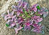 USDA Red spinach