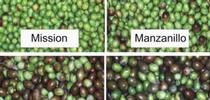 Are any of these growing near you? Thank you https://ucanr.edu/repository/view.cfm?article=9689%20&search=olive for Master Food Preservers San Bernardino County Blog