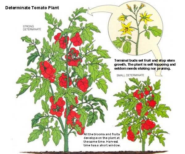 Whats The Difference Between Determinate And Indeterminate Tomatoes
