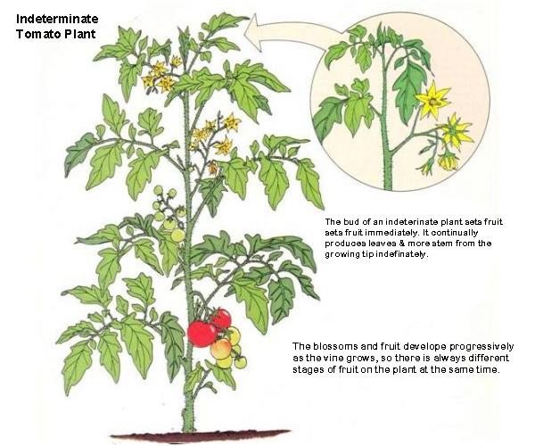 determinate-verses-indeterminate-tomato-plant-8