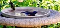 Blog Bird-Friendly birdbath for San Bernardino County Master Gardeners Blog