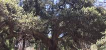 MajesticOak for San Bernardino County Master Gardeners Blog