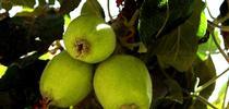M.Martinez Apples blog for San Bernardino County Master Gardeners Blog