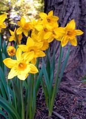 Daffodils in Lake Arrowhead